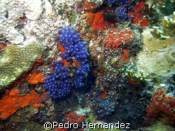 Blue Bell Tunicate,Culebra Puerto Rico,Camera DC310 by Pedro Hernandez