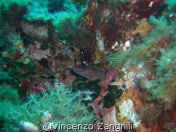 Mooray Eel in Sardinia.  by Vincenzo Zangrilli