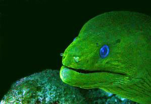 Giant Moray Eel. No strobe. by Blair Hughes