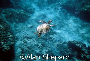 Great natural light pic of a turtle in H-Bay, Oahu, Hawai... by Alan Shepard