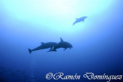Bottle nose dolphins at Socorro island. by Ramón Domínguez