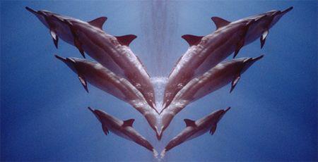 Dolphin fantasy, a morphed view of an earlier entry. Maui Hi by David Espinoza