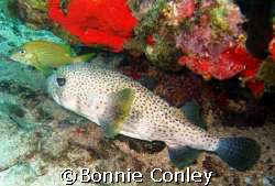 Porcupinefish seen at St. Maarten Aug 2007.  Photo taken ... by Bonnie Conley