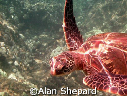 A small turtle in Maui, HI.   by Alan Shepard