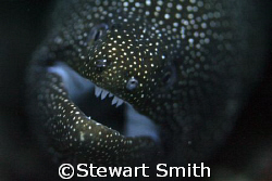 white mouthed moray by Stewart Smith