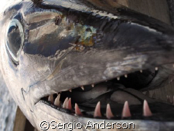 Fisherman catch !!!!  (dog tooth tuna) by Sergio Anderson