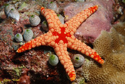 Noduled sea star,Fromia nodosa. picture taken in Maldives by Anouk Houben