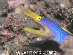 Blue ribbon! Closeup in Lembeh Straits - Indonesia by Desmond Chang
