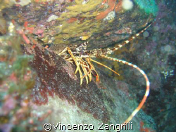 Profile of Lobster under a rock. Casio Ex-1000 by Vincenzo Zangrilli