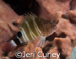 Hawkfish in a sponge taken with an Olympus Evolt E-300 at... by Jeri Curley