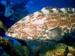 Bahamas, Grouper closeup. Reefmaster DC200 47ft. Bull Run by Gregg Schweitzer
