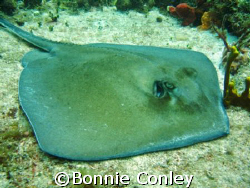 Stingray seen at St. Maarten August 2007.  Taken with a C... by Bonnie Conley