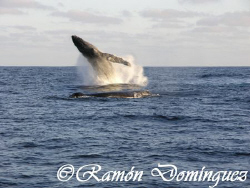 Humback Whale season at Revillagigedo islands. by Ramón Domínguez