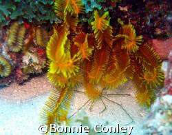 Golden Crinoid at St. Maarten.  Photo taken August 2007 w... by Bonnie Conley
