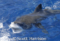 Great White at the surface. Nikon D100. Guadalupe Island,... by Scott Harrison
