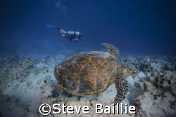 Turtle dive buddy by Steve Baillie