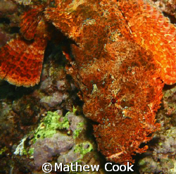 """""""The Titan"""" This huge Titan Scorpionfish was photographed... by Mathew Cook"""