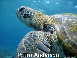 turtle on flinders reef by Tim Anderson