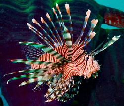 Lion Fish taken on wreck of the Ann, Solomon Islands. Ni... by Marylin Batt