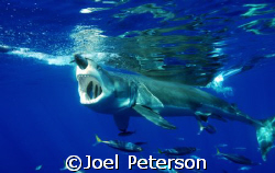Great White Shark haveing lunch!  by Joel Peterson
