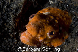Amazing Stargazing Eel found during a night dive in the L... by Barbara Schilling