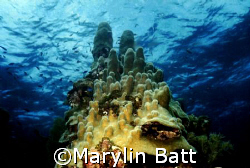 Castles in the sea. Pillar coral.  Guanaha, Bay Islands.