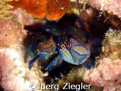 Mating Mandarin Fishes Sabang Bay, Sabang, Puerto Gallera by Juerg Ziegler