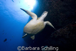 A green Turtle checking out divers by Barbara Schilling