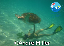 Adult Green Sea Turtle seen off of Payne's Bay, St James ... by Andre Miller