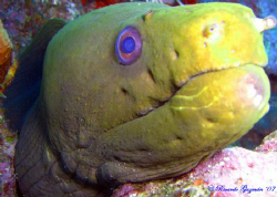 Curious Green Eel with battle scars at Two For You dive s... by Ricardo Guzman