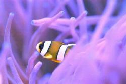 Baby Nemo  by Steve Kuo