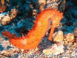 Beautiful Seahorse at 32m  Puerto Gallera, Sabang, Phili... by Juerg Ziegler