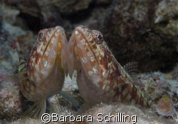Cheek to Cheek! Indonesia / Lembeh Strait by Barbara Schilling