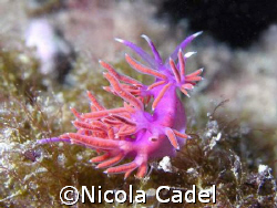Nudibranch by Nicola Cadel