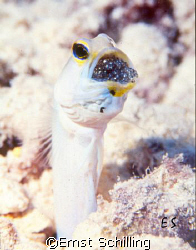 Jawfish with his offspring by Ernst Schilling