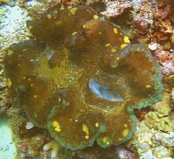 Giant clam.  Nikonos V 28mm lense by Marylin Batt