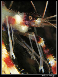 Close up of Banded Coral Shrimp.......Canon G7 with Inon ... by Brian Mayes