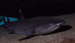 Pregnant white ti reef shark, Maui Hi by David Espinoza