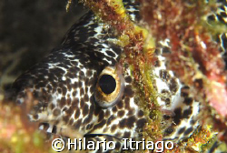 Moray eel, Cancun México by Hilario Itriago