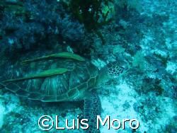2 remoras balicasag island canon g7  by Luis Moro