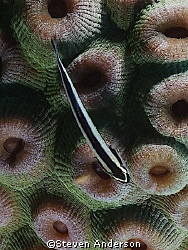 This photo of a Yellow Lined Goby was taken while diving ... by Steven Anderson