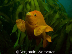 Garibaldi off California's Channel Islands by Benjamin Weitzman