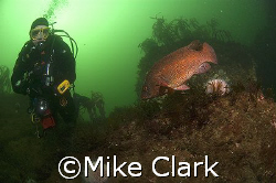 Diver and ballan Wrasse looking at each other.