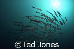 Bara's at Elphinestone reef, we did'nt see anything else.... by Ted Jones