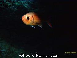 Blackbar Soldierfish,Humacao,Puerto Rico,Camera DC200 by Pedro Hernandez