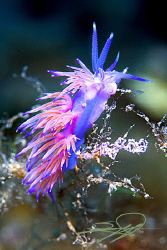 "Nudibranch ""Flabellina Αffinis"" lays its eggs by Nicholas Samaras"