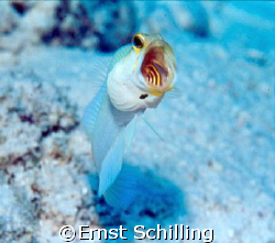 Big Mouth ,  Yellow Head Jaw Fish , Bonaire by Ernst Schilling