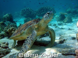 """""""Hawkbill Turtle enjoying to be pritty and nice"""" Barracu... by Juerg Ziegler"""