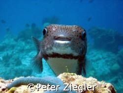 "Smiling Pufferfish says ""Hi"" Mataking Island, Borneo/Mal... by Peter Ziegler"