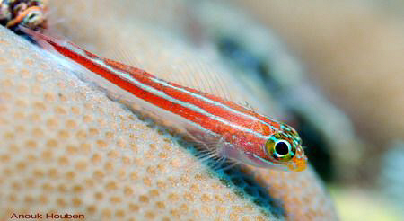 Striped triplefin, Helcogramma striata. Picture taken off... by Anouk Houben
